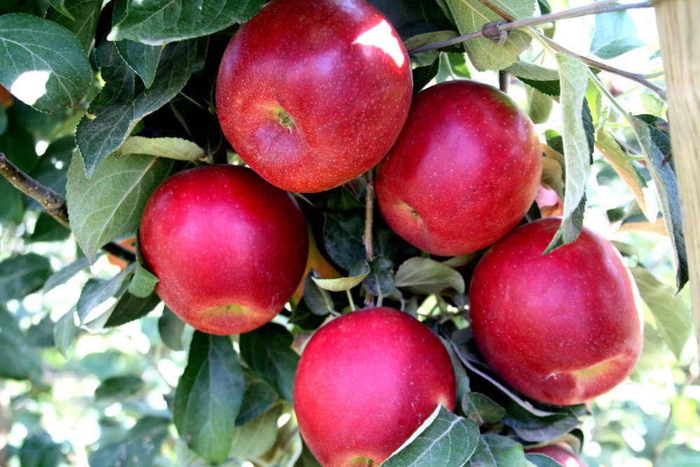 NEW APPLE VARIETIES AND NEW ORCHARDS COME TO KITTITAS