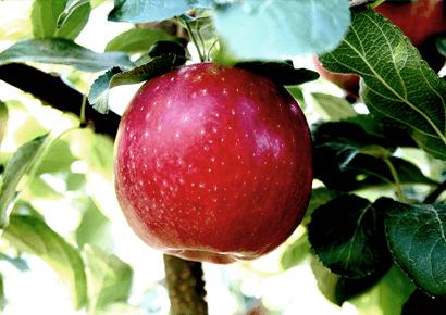 Washington State Apple Harvest is Half Over