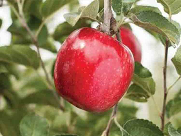 A Red Apple that is Ultracrisp